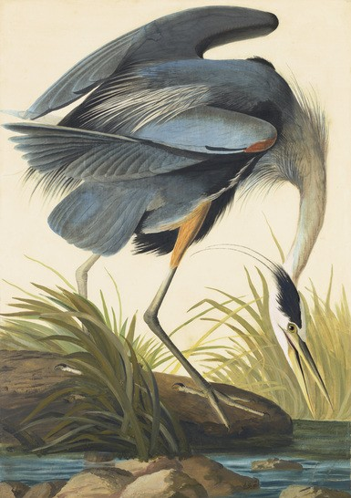 John James Audubon. Study for Great Blue Heron. New York Historical Society, NY.